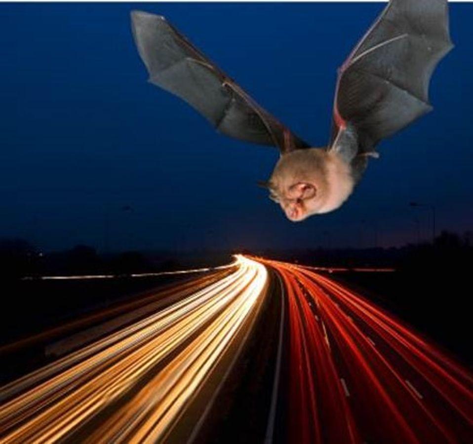 Infrastructures routières et chauves-souris : quels aménagements favoriser ?