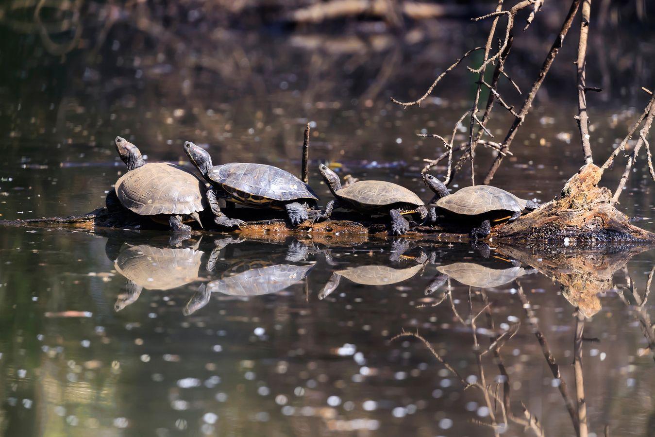 Quels moyens de lutte contre les EEE animales en milieux aquatiques ? Cas n°4 : La tortue de Floride